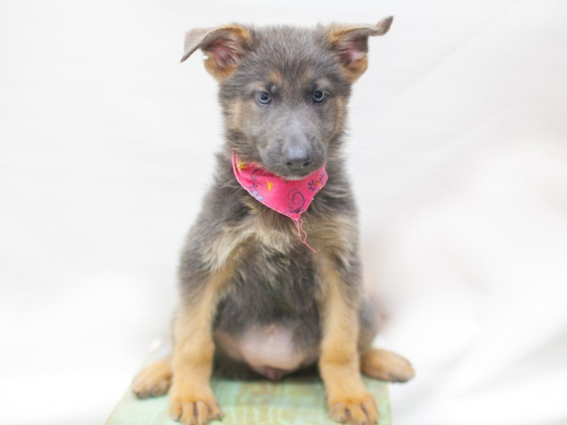 German Shepherd Dog-Female-Blue-2435508-Petland Wichita, KS