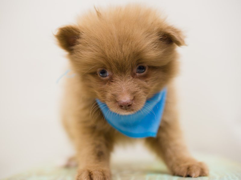 Pomeranian-DOG-Male-CHOCOLATE-2387532-Petland Wichita, KS
