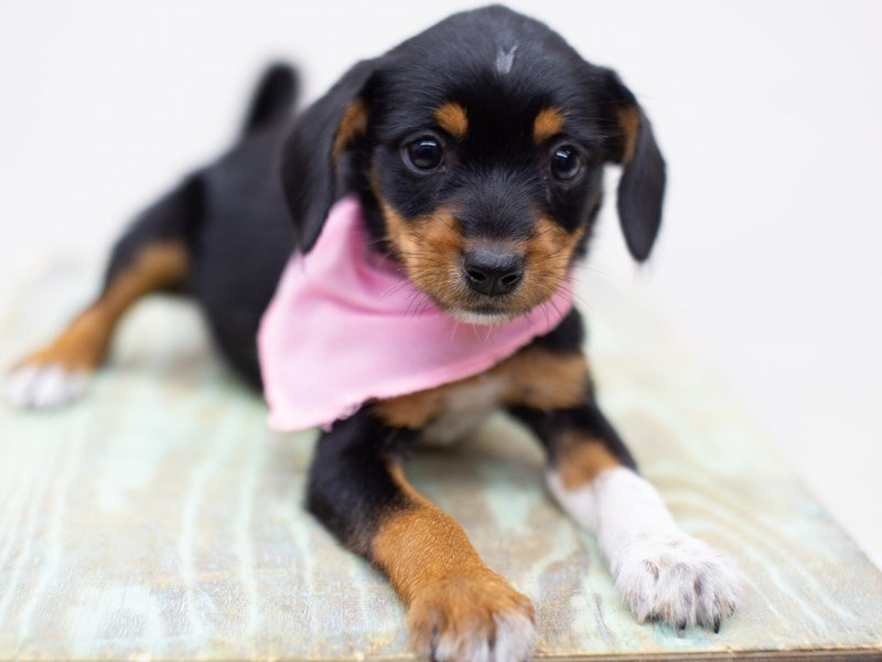 Heeler Jack-DOG-Female-Black and Tan-2398439-Petland Wichita, KS
