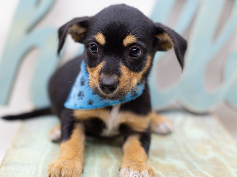 Heeler Jack-Male-Black and Tan-2398417-Petland Wichita, KS