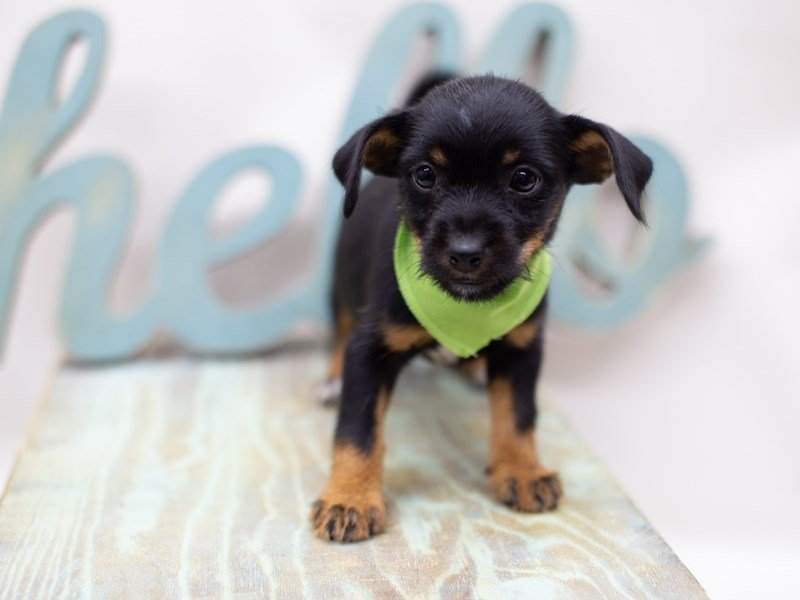 Heeler Jack-Male-Black and Tan-2398413-Petland Wichita, KS