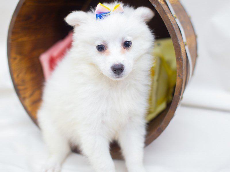 American Eskimo-Female-White-2404955-Petland Wichita, KS