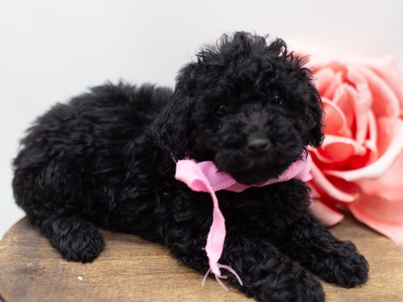 Toy Poodle-Female-Black-2411006-Petland Wichita, KS