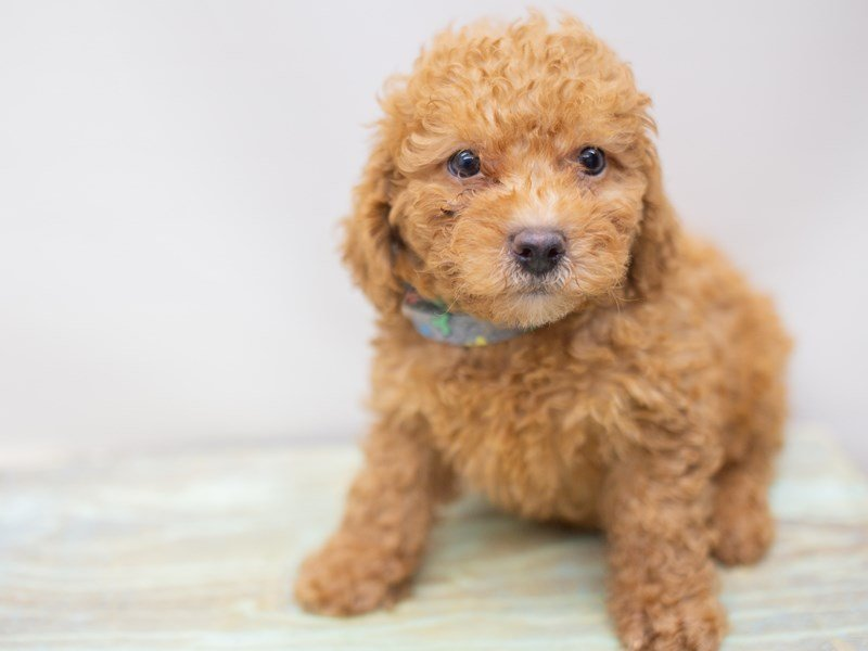 Toy Poodle-DOG-Male-Red-2411002-Petland Wichita, KS