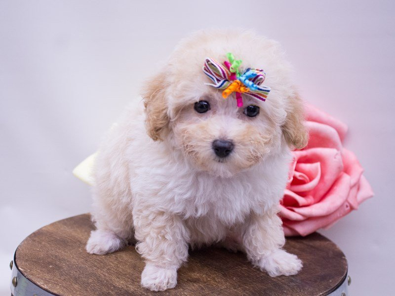 Toy Poodle-Female-APRICOT-2416948-Petland Wichita, KS