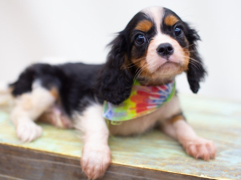Cavalier King Charles Spaniel-Male-Tri Color-2423560-Petland Wichita, KS