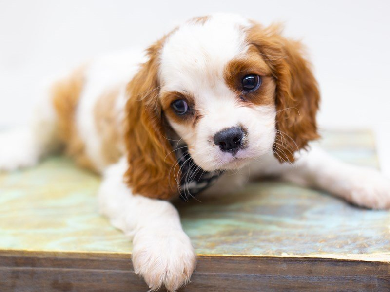 Cavalier King Charles Spaniel-DOG-Male-Blenheim-2423559-Petland Wichita, KS