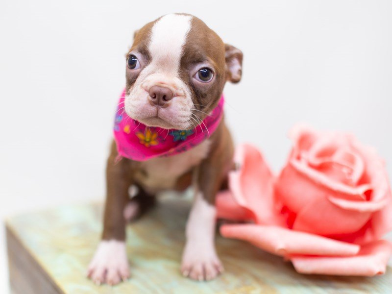 Boston Terrier-Female-Red and White-2423556-Petland Wichita, KS