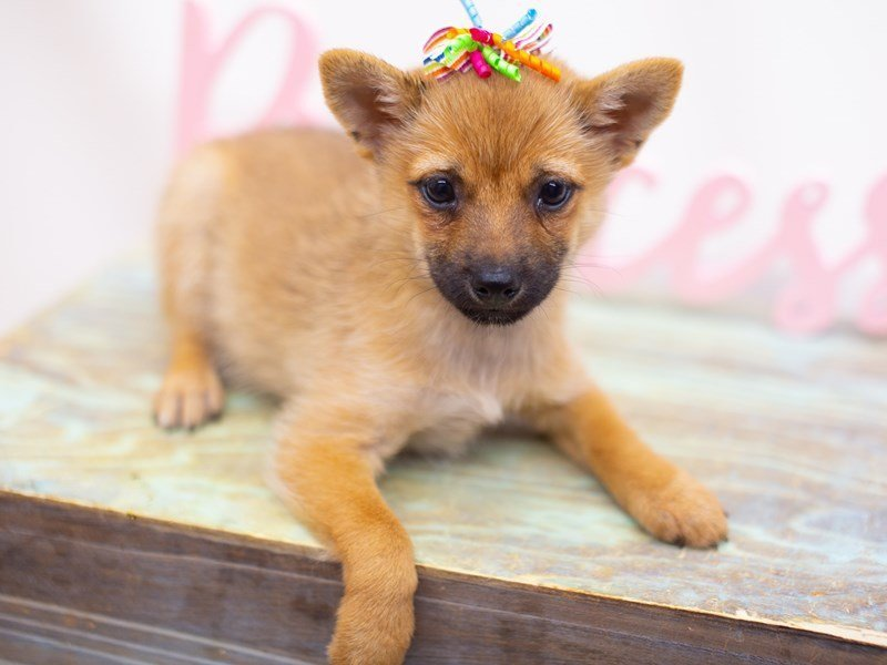 Shiba Inu-DOG-Female-Sesame-2423554-Petland Wichita, KS