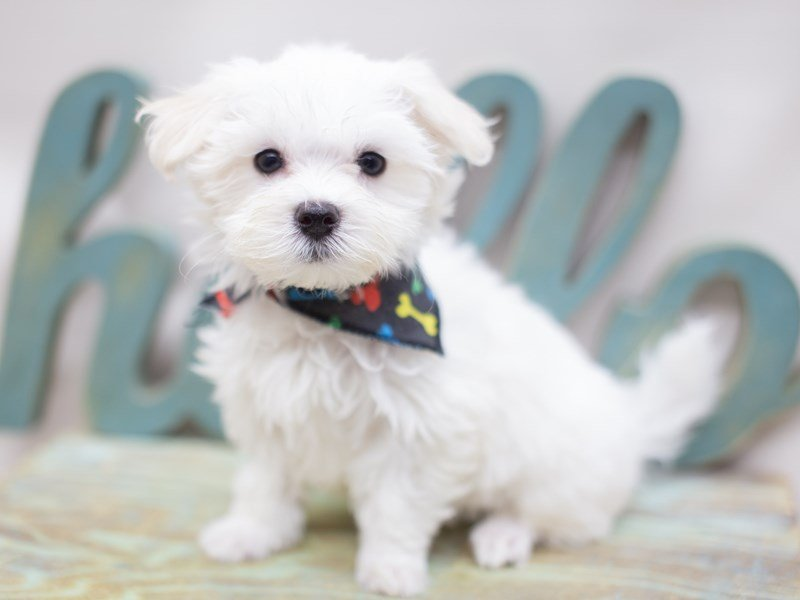 Maltese-Male-White-2416834-Petland Wichita, KS