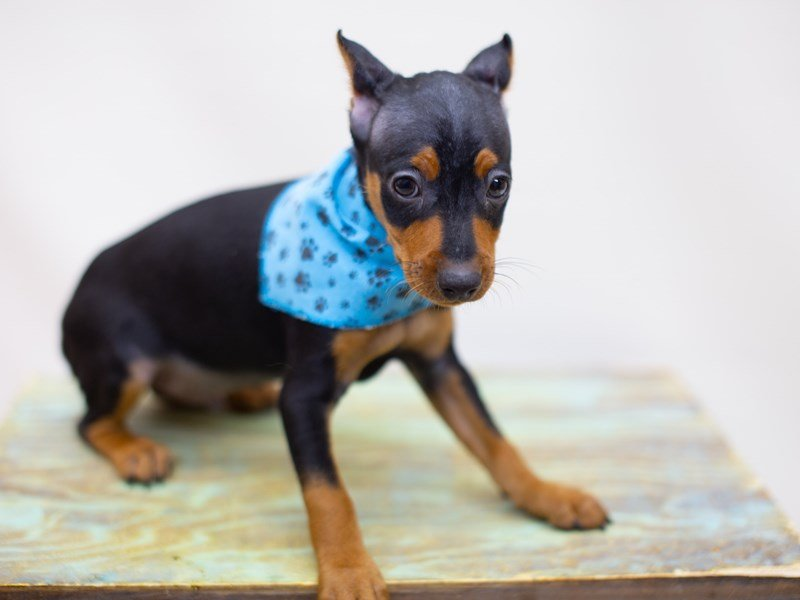 Miniature Pinscher-Male-Black and Tan-2422703-Petland Wichita, KS