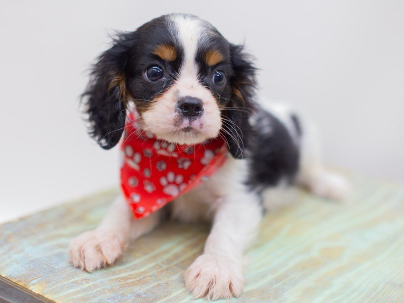 Cavalier King Charles Spaniel-Male-Tri Color-2423561-Petland Wichita, KS