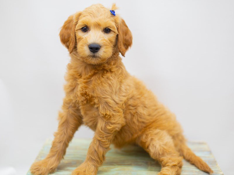 Goldendoodle-Female-Golden-2429045-Petland Wichita, KS