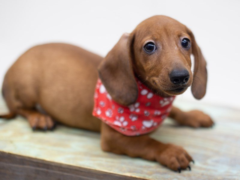 Miniature Dachshund-DOG-Male-Red Sable-2428952-Petland Wichita, KS