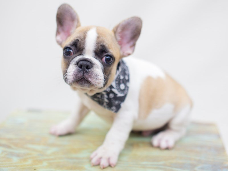 French Bulldog-Male-Red Fawn Piebald-2428946-Petland Wichita, KS