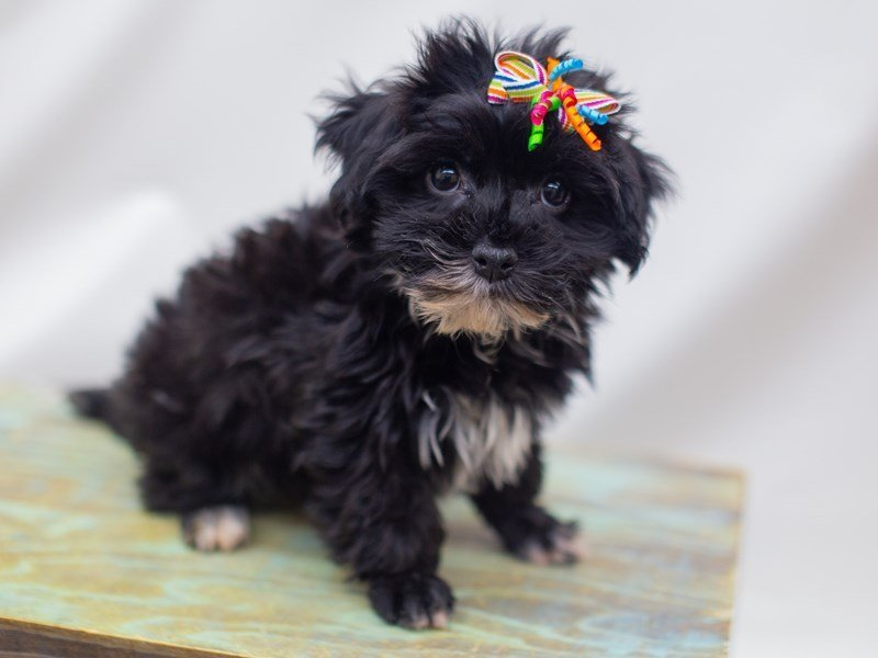 Havanese-Female-Black-2421992-Petland Wichita, KS