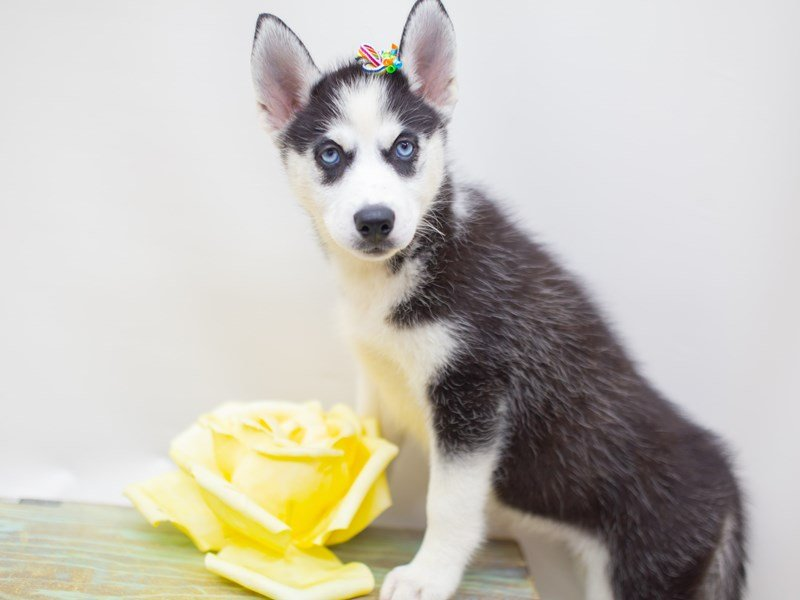 Siberian Husky-Female-Black and White-2428861-Petland Wichita, KS