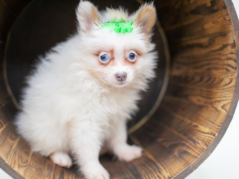 Pomeranian-Female-Sable Parti Blue Eyes-2435739-Petland Wichita, KS