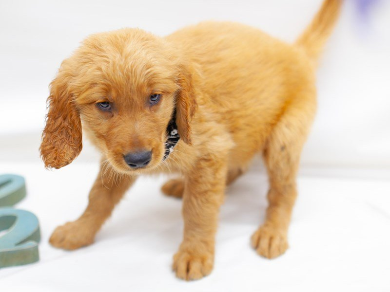 Golden Retriever-Male-Golden-2435661-Petland Wichita, KS