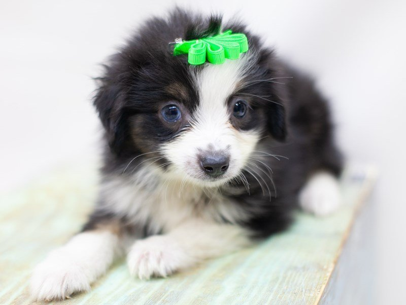 Miniature Australian Shepherd-DOG-Female-Black Tri One Blue Eye-2435632-Petland Wichita, KS