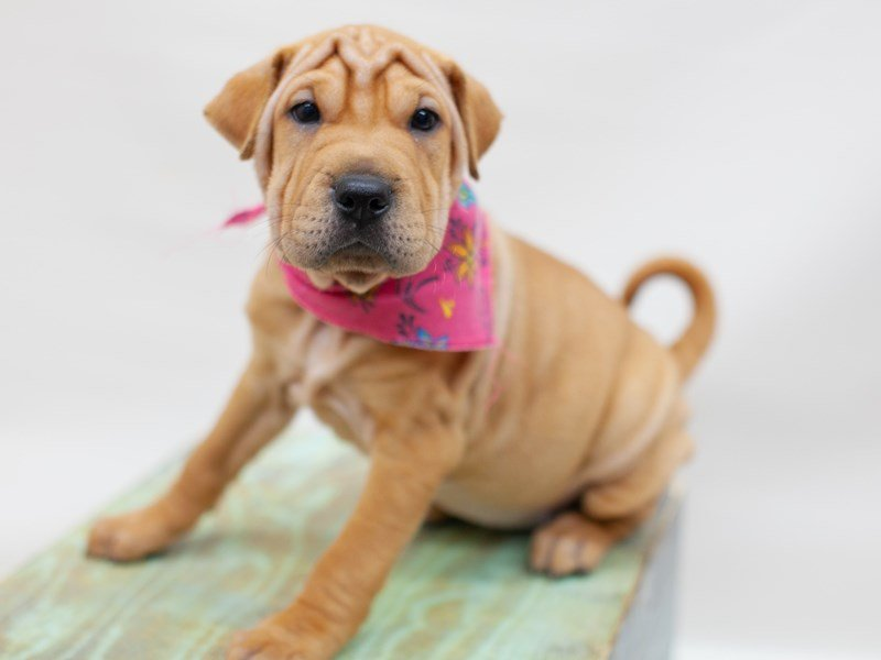 Mini Walrus-DOG-Female-Fawn-2433975-Petland Wichita, KS