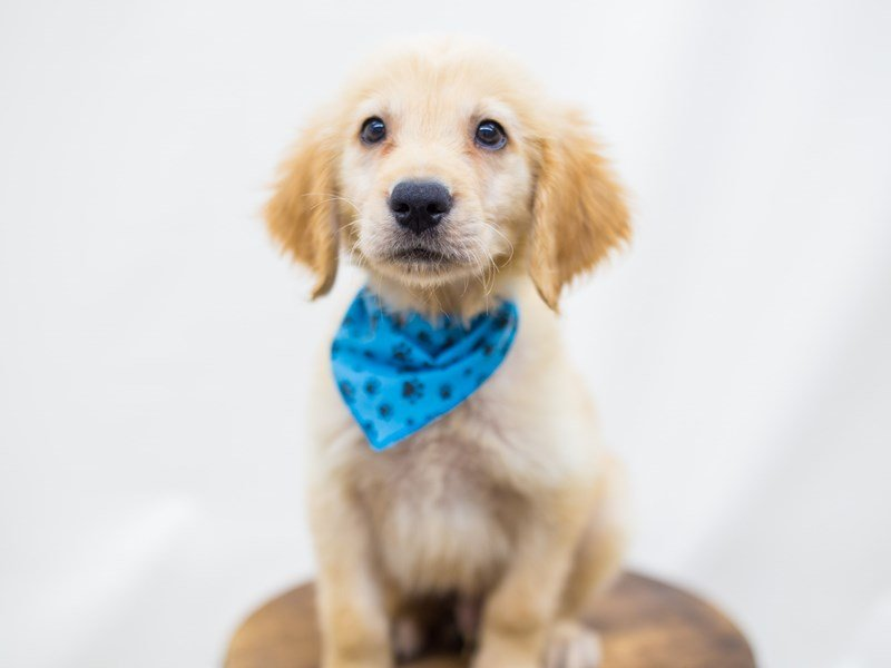 Golden Retriever-DOG-Male-Golden-2441343-Petland Wichita, KS
