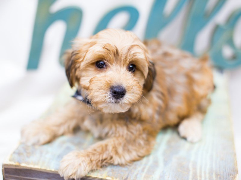 Yorkie Poo-DOG-Male-Sable-2441294-Petland Wichita, KS