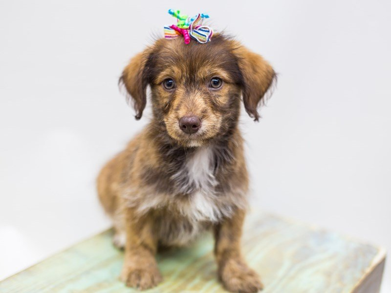 BeagleDoodle-DOG-Female-Red-2441288-Petland Wichita, KS