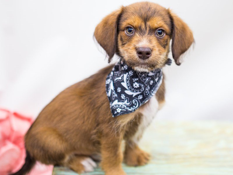 BeagleDoodle-DOG-Male-Red-2441269-Petland Wichita, KS