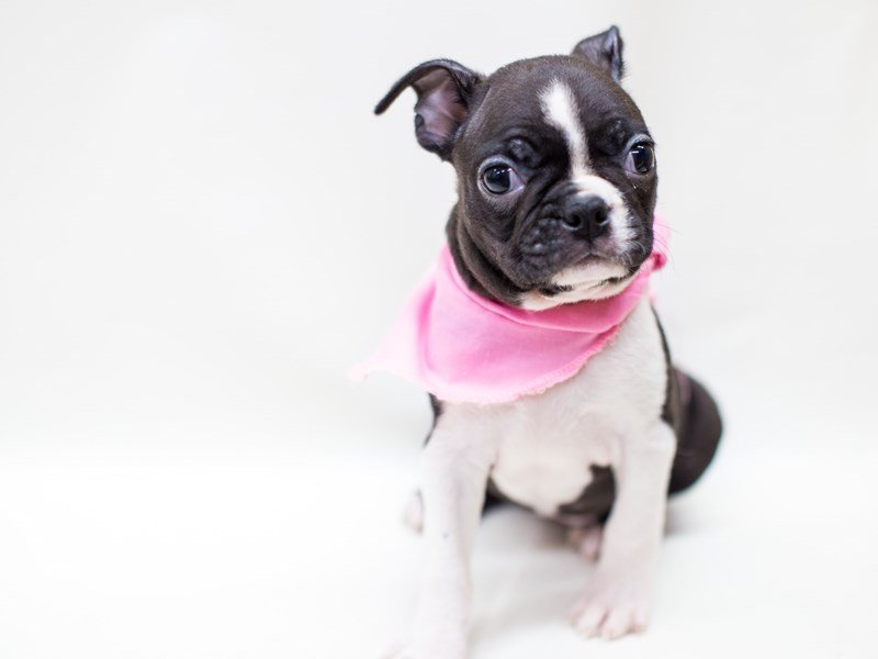 Boston Terrier-DOG-Female-Black & White-2435779-Petland Wichita, KS