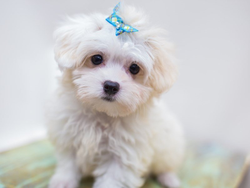 Toy MaltiPoo-DOG-Female-White-2441305-Petland Wichita, KS