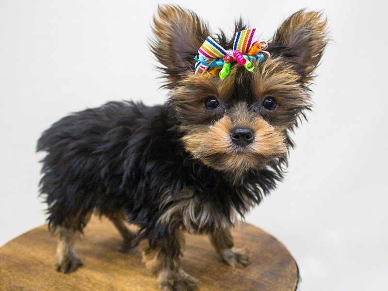 Yorkshire Terrier-DOG-Female-Black & Tan-2447194-Petland Wichita, KS