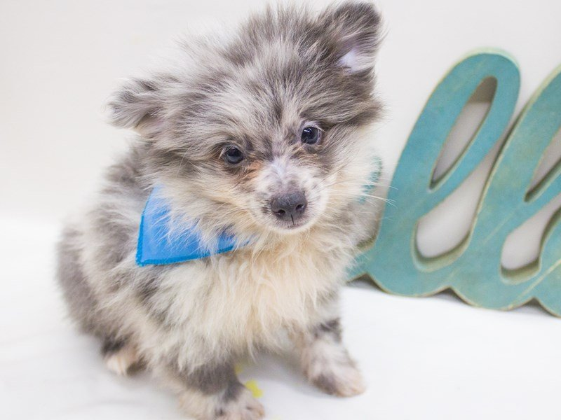 Pomeranian-DOG-Male-Blue Merle-2447188-Petland Wichita, KS