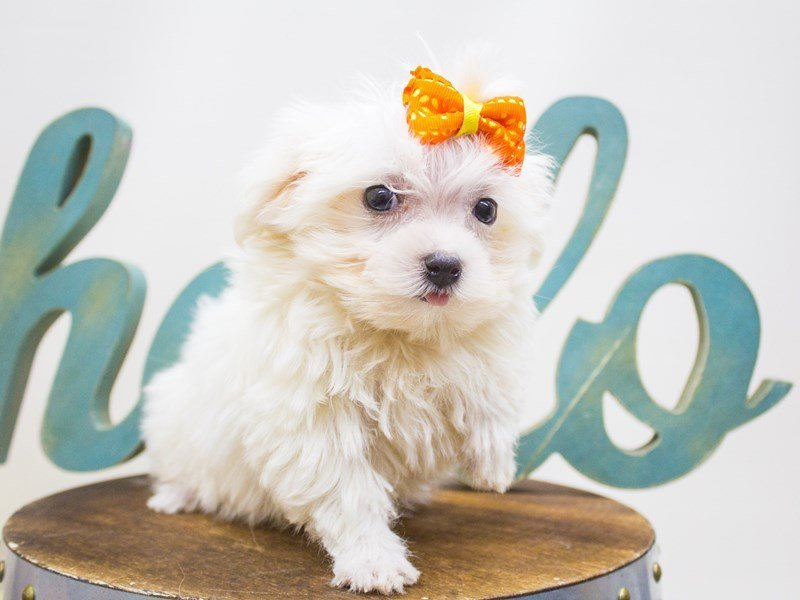 Maltese-Female-White-2447187-Petland Wichita, KS