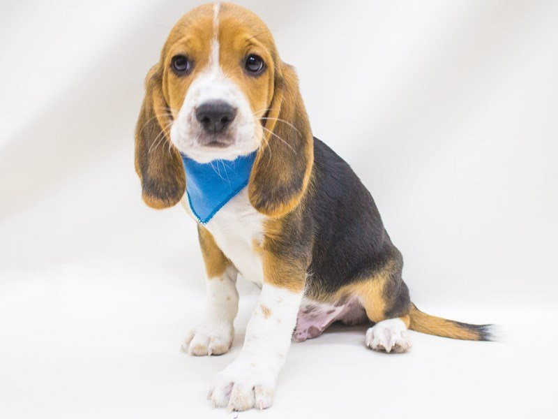 Beagle-Male-Tri-2447001-Petland Wichita, KS