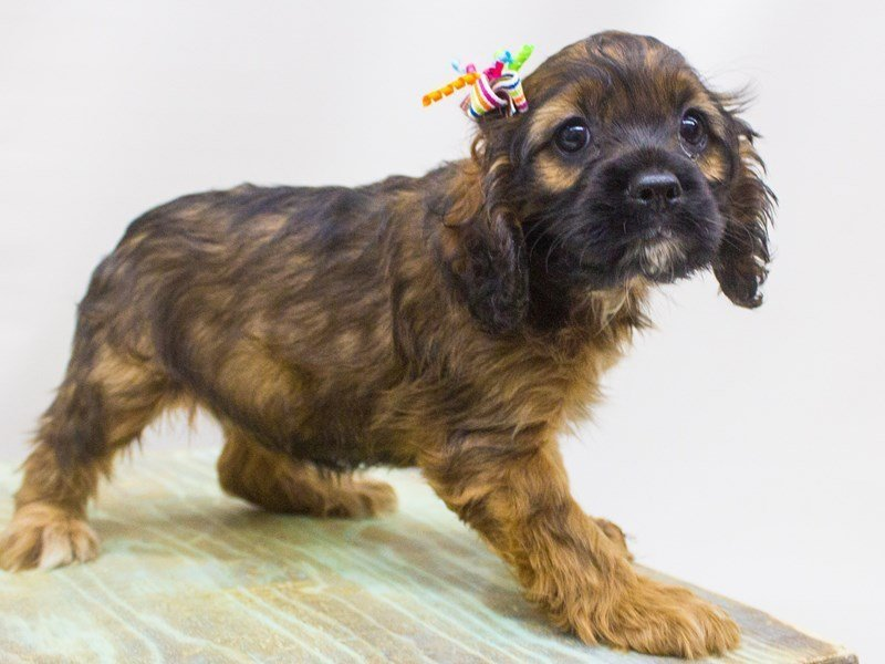 Cocker Spaniel-Female-Sable-2446917-Petland Wichita, KS