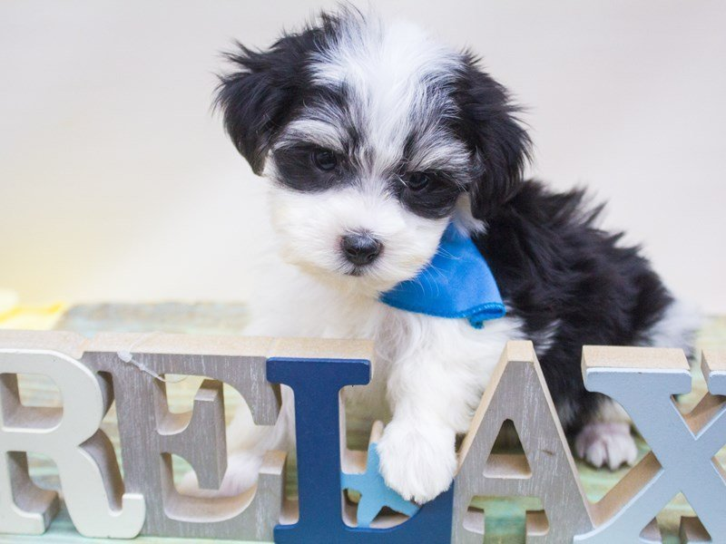 Paptese Chon-DOG-Male-Black & White-2445071-Petland Wichita, KS