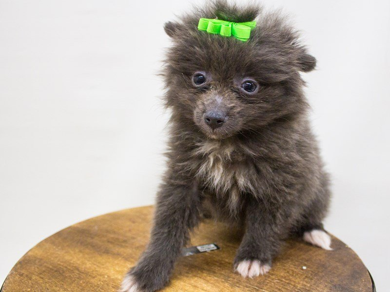 Pomeranian-DOG-Female-Blue-2447189-Petland Wichita, KS