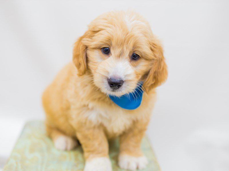 Miniature Goldendoodle-Male-Gold and White-2453270-Petland Wichita, KS