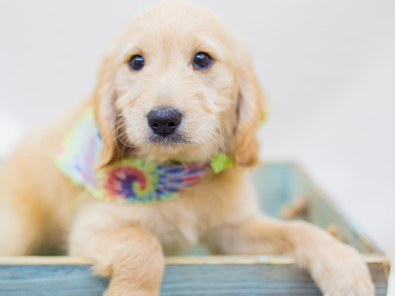 Miniature Goldendoodle-Male-Golden-2453153-Petland Wichita, KS