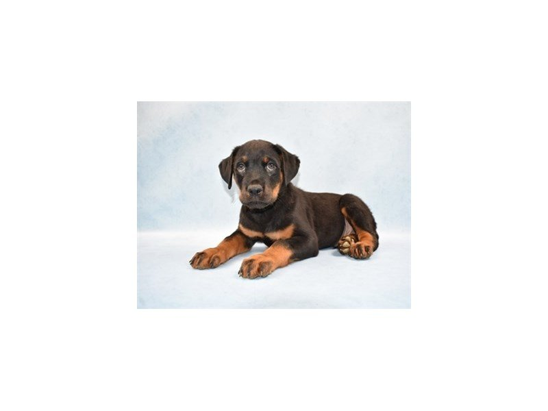 Rottweiler-DOG-Male-Black and Rust-2458930-Petland Wichita, KS