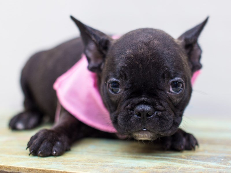 French Bulldog-Female-Brindle-2459743-Petland Wichita, KS