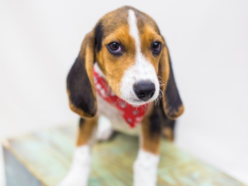 Beagle-Male-Tri Color-2459689-Petland Wichita, KS