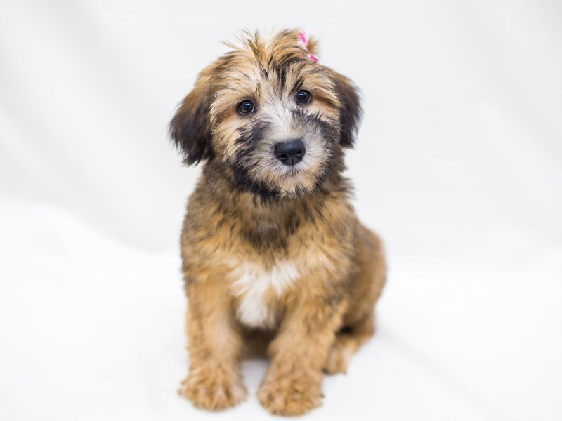 Soft Coated Wheaten Terrier-Female-Wheaten-2459684-Petland Wichita, KS