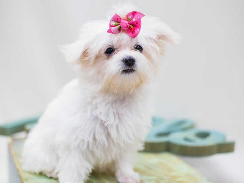 Maltese-DOG-Female-White-2445067-Petland Wichita, KS