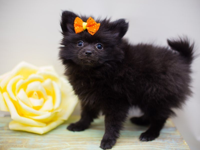 Pomeranian-DOG-Female-Black-2387081-Petland Wichita, KS