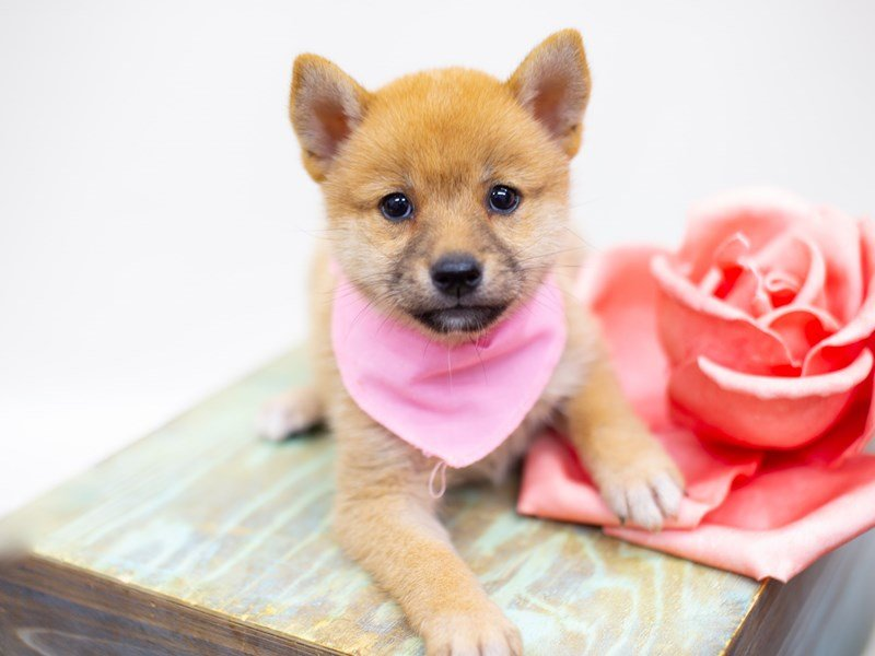 Shiba Inu-DOG-Female-Sesame-2398996-Petland Wichita, KS