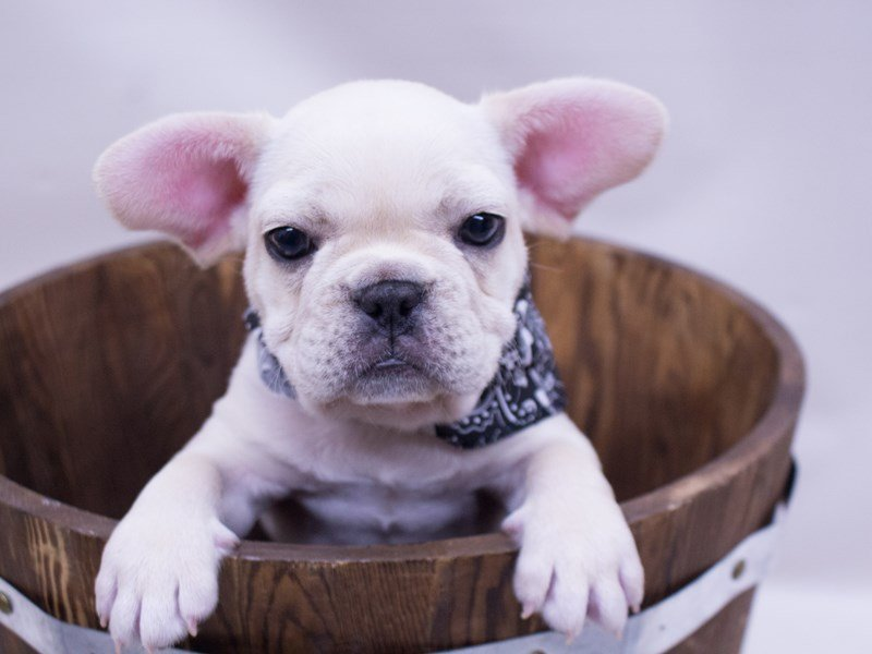 French Bulldog-Male-Cream-2416863-Petland Wichita, KS