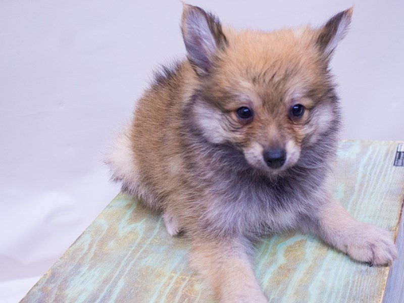 Pomeranian-DOG-Male-Red-2416845-Petland Wichita, KS
