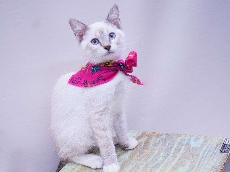 SIAMESE SNOWSHOE-CAT-Female-TORTI LYNX POINT-2416790-Petland Wichita, KS